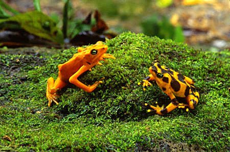 Golden frogs sitting on a grassy bank